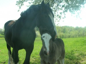 Shire horses for sale at our website: www.ricecreekshires.com